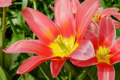 Flower, Lily, Plant, Flora stock image