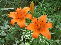 Flower, Lily, Plant, Orange Lily stock photography