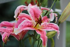 Flower, Lily, Plant, Pink Stock Images