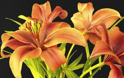 Flower, Lily, Plant, Yellow Royalty Free Stock Images