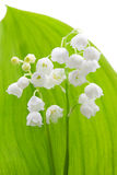 Flower of lily of the valley Royalty Free Stock Photo