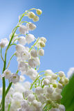 Flower of lily of the valley Stock Photo