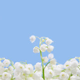 Flower lily of the valley Royalty Free Stock Photo