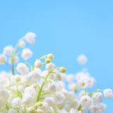 Flower lily of the valley Royalty Free Stock Images