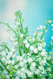 Flower lily of the valley stock images