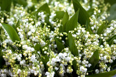 Flower, lily of the valley Royalty Free Stock Image