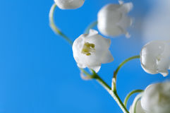 flower Lily of the valley closeup Royalty Free Stock Image