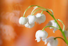 flower Lily of the valley closeup Stock Photos