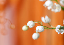 Flower Lily of the valley closeup Royalty Free Stock Photos
