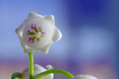 flower lily of the valley Stock Photo