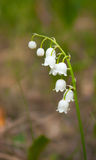 Flower lily of the valley in a forest glade Royalty Free Stock Images