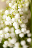Flower lily of the valley Stock Photography