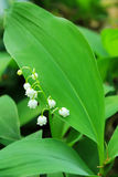 Flower lily of the valley Royalty Free Stock Photography