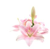 Flower, Lily, in Vase, Isolated Royalty Free Stock Photo