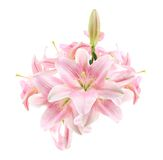 Flower, Lily, in Vase, Isolated Royalty Free Stock Photography