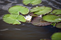 Flower lily on the water surface of the lake Royalty Free Stock Images