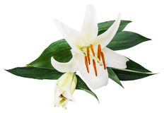 Flower lily on a white background with copy space for your messa Stock Image