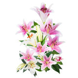 Flower lily on a white background with copy space for your messa Royalty Free Stock Images