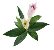 Flower lily on a white background with copy space for your messa Stock Photography