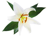 Flower lily on a white background with copy space for your messa Royalty Free Stock Photos
