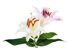 Flower lily on a white background with copy space for your messa Stock Photo