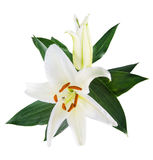 Flower lily on a white background with copy space for your messa Royalty Free Stock Photography