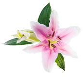 Flower lily on a white background with copy space for your messa Royalty Free Stock Image