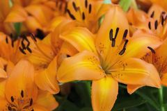 Flower, Lily, Yellow, Plant Stock Images
