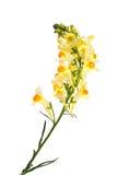 A flower Linaria Stock Photos