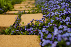 Flower Lined Path. Small purple flower lining and grown between paver stone path receding into out of view. Diagonal of flowers and stems passing between first Stock Images