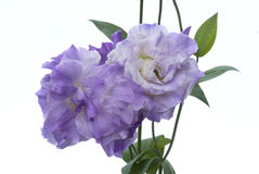 Flower-Lisianthus against 255 white. Blue lisianthus blooms against white background Stock Photography