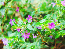 FLOWER. Liu bright purple flowers,weeping royalty free stock photos