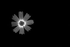 A flower with long petals. In a black and white version. Macro Royalty Free Stock Photo