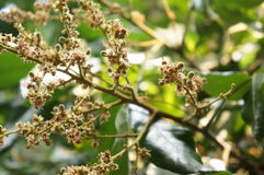 Flower of longan plant in thailand Stock Images