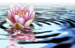 A flower of loto on the water Stock Image