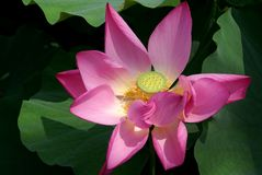 Flower of a lotus. In botanical to a garden, China Royalty Free Stock Photo