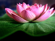 flower lotus 图库摄影
