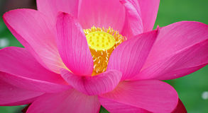 Flower lotus. The detail of flower is very beautiful Royalty Free Stock Photography
