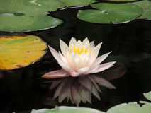 Flower of Lotus. Beautiful flower of Lotus in Bojnice spa stock images