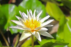 Flower. Lotus flower is blooming above the water stock image