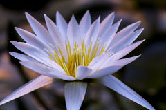 Flower, lotus. Buddhism flower  lotus  macro  pure  transparent  water  white Stock Photography