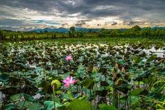Flower lotus field Royalty Free Stock Photos