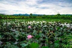 Flower lotus field Stock Photos