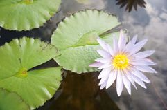 Flower lotus. Green water beauty nature royalty free stock photo