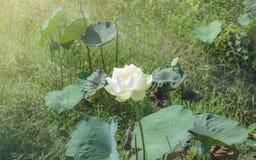 Flower, lotus. Flower lotus nature summer green,plant blossom asian meditatio, aquatic teichplanze peace, floral zen petals, bloom pink pond White lotus stock photography