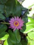 Flower. Lotus garden leaf Stock Images