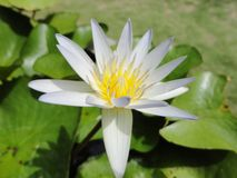 Flower. Lotus in the garden at my home Royalty Free Stock Image