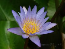 Flower of lotus. Lotus - the holy flower of buddhism stock image