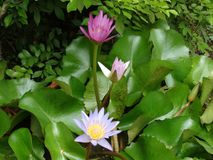 Flower of lotus. Lotus - the holy flower of buddhism stock photo