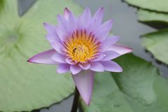 Flower Lotus in Lake royalty free stock photo